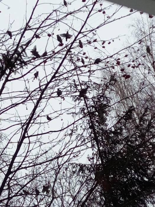 Ягоды калины - отличное лакомство для птиц зимой. Фото Саши Май
