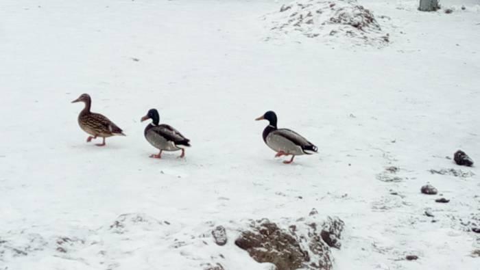 Уткам, которые остались зимовать в Витебске, тоже холодно. Фото Саши Май