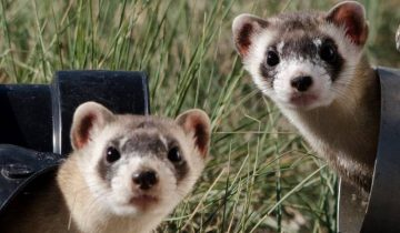 black-footed-ferrets