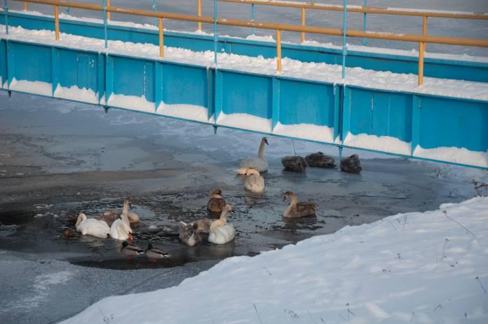 Еще на прошлой недели лебедей на канале было много. Фото Анастасии Вереск