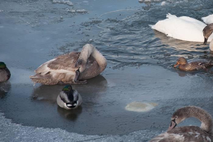 Лебеди и утки зимуют здесь вместе. Фото Анастасии Вереск