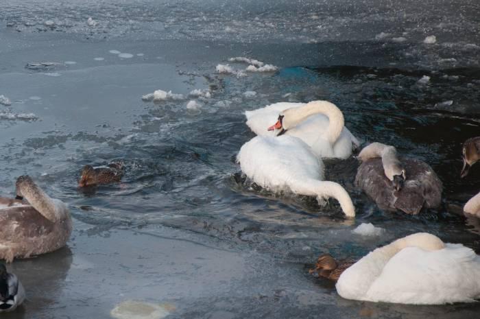На Лукомльском озере зимую птицы из Беларуси и приграничья: в этом году здесь отметились три лебедя из Польши и двое из Латвии.Фото Анастасии Вереск