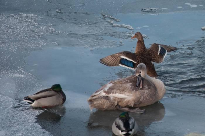 Самая крупная зимовка птиц на воде находится на озере Лукомльское, здесь их собирается от 150 до 450 особей. Фото Анастасии Вереск