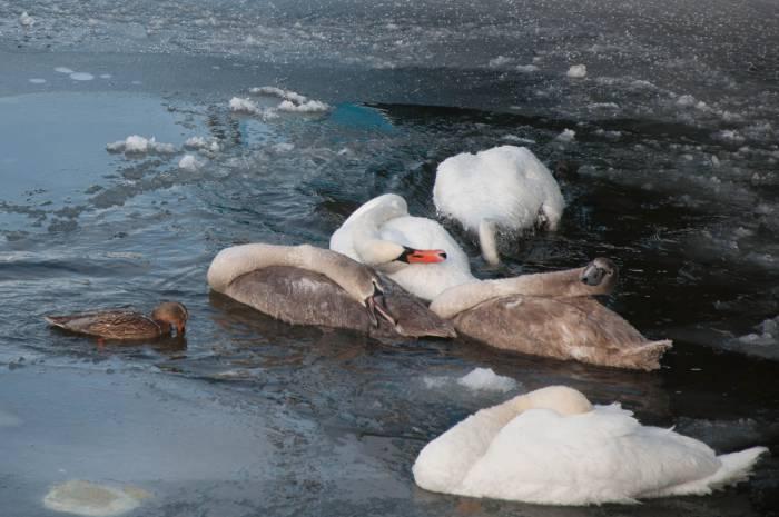 Лебеди принимают холодные ванны в канале. Фото Анастасии Вереск