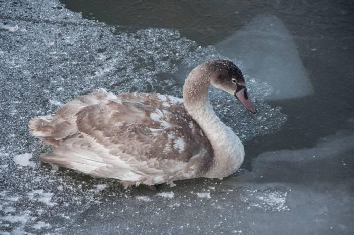 Лебедь-шипун - самая крупная из зимующих в Беларуси птиц. Фото Анастасии Вереск