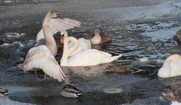 Лебеди на канале в Новолукомле. Фото Анастасии Вереск