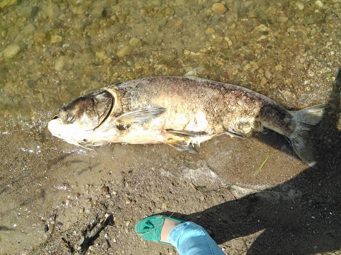 В сравнении можно увидеть насколько огромна погибшая рыба. Фото Анастасия Вереск