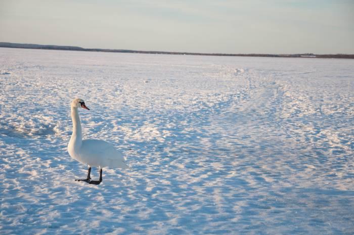 Лебеди тоже хотят тепла! Фото Анастасии Вереск