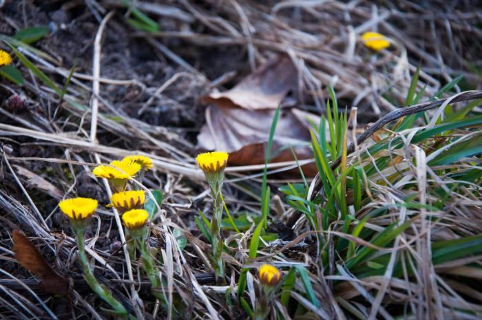 Цветы мать-и-мачехи можно найти даже в городе. Фото Анастасии Вереск