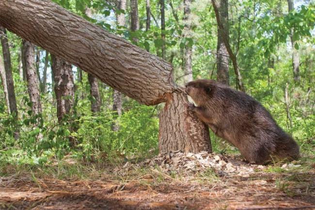 Сезон охоты на бобра начнется 1 сентября. Фото vovet.ru