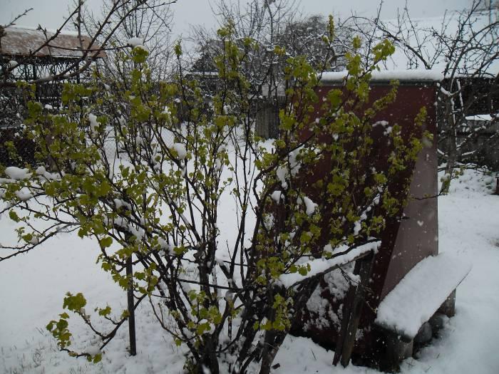 пасха, снег, смородина