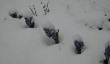 витебск, снег, первоцветы