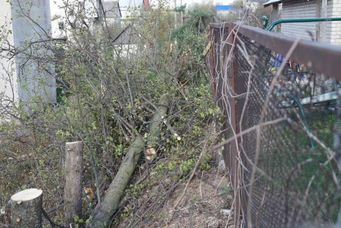 Обрезанные деревья за забором усадьбы. Фото Владимир Борков