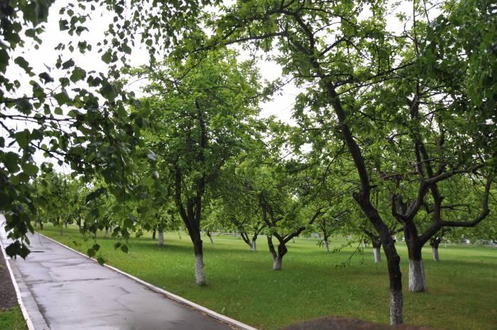 Те самые яблони, которых в скором времени школа может лишиться. Фото Анастасии Вереск