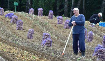 Александр Лукашенко свои выходные провел на уборке урожая картофеля. Кадр телетрансляции