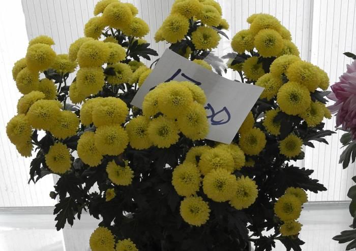 Хризантемы в горшочке можно купить за 17 рублей. Фото Светланы Васильевой