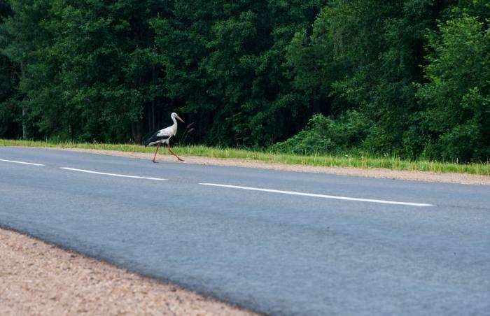 Не каждый день дорогу вам пересекает аист. Фото Анастасии Вереск