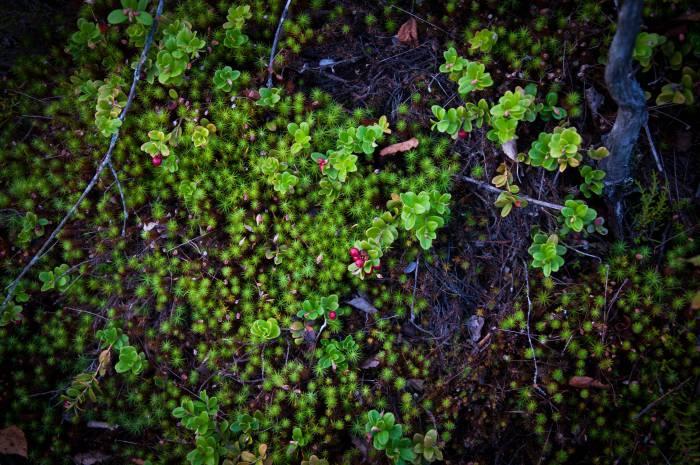 В сентябре здесь все еще встречается брусника. Фото Анастасии Вереск