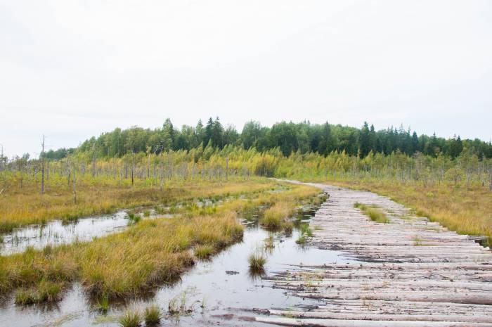 Настил из бревен, который выводит на болото. Фото Анастасии Вереск