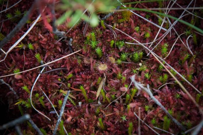 Еще один обитатель болота - хищное растение росянка. Фото Анастасии Вереск