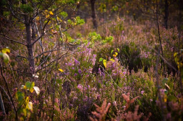 Вереск на болоте густой и очень жесткий. Фото Анастасии Вереск