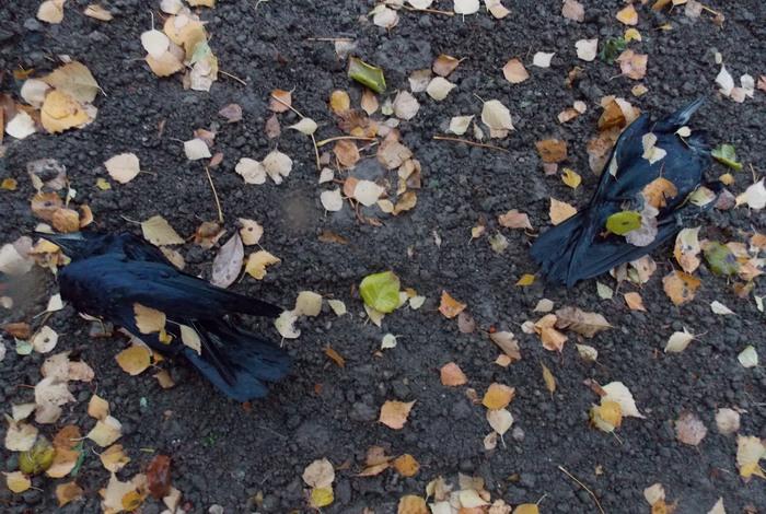 Витебск, птицы, смерть