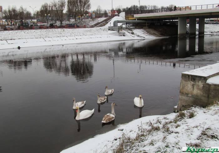 В Орше на зимовку осталось 6 лебедей