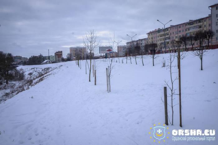 В Орше продолжают высаживать деревья и кустарники зимой. Почему?
