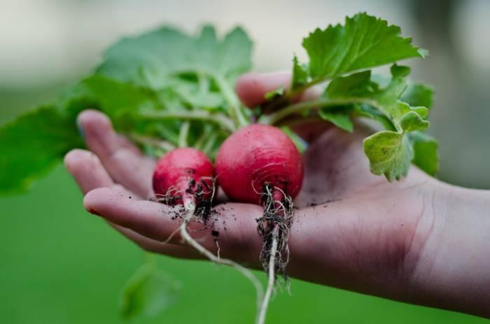 3 секрета небывалого урожая: редис, капуста и морковь