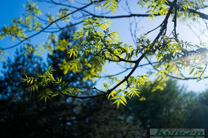 Деревья произрастающие в беларуси