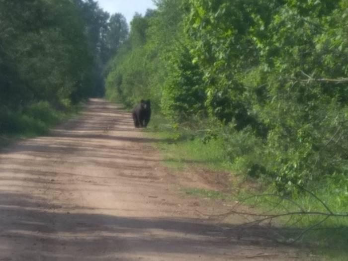В Витебском районе в Железняках на дороге витебчанин повстречал медведя