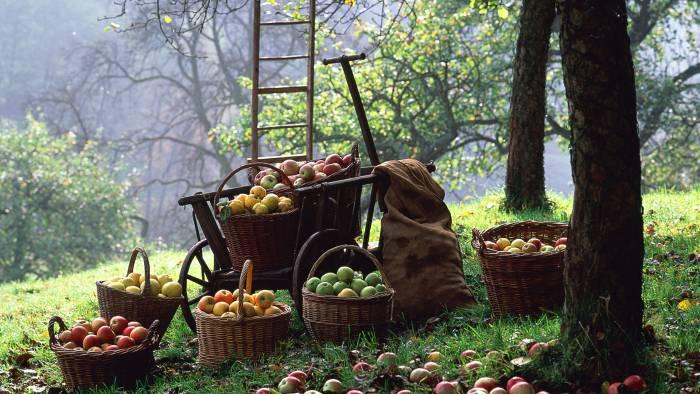 Что делать с небывалым урожаем яблок? Рецепт от шефа