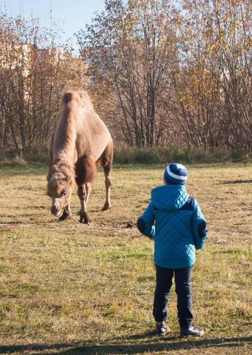 В Полоцке октябрьским днем на солнышке грелись верблюды