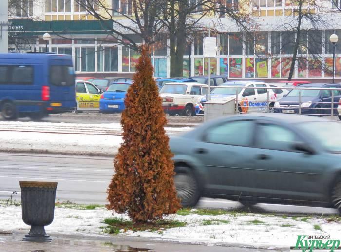 На главной площади Витебска погибают туи. Как укор тому, что прекрасное место отдыха уничтожили, а новым оно так и не стало