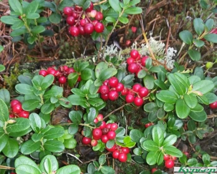 Сколько можно заработать на ягодах и грибах за одно лето в Витебской области