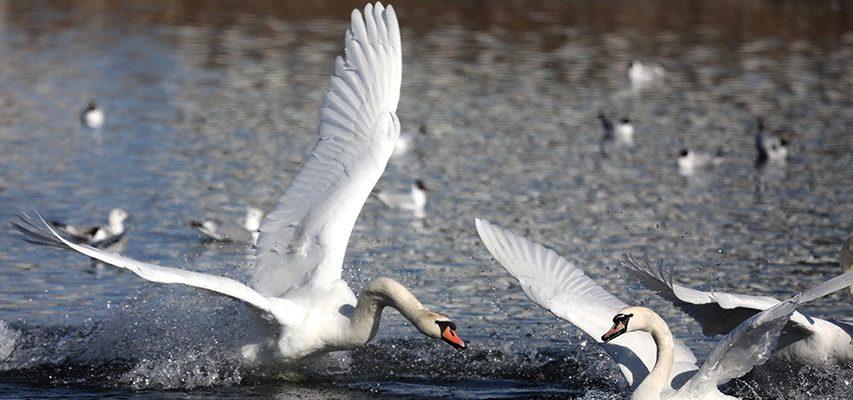 Лебеди в Витебске