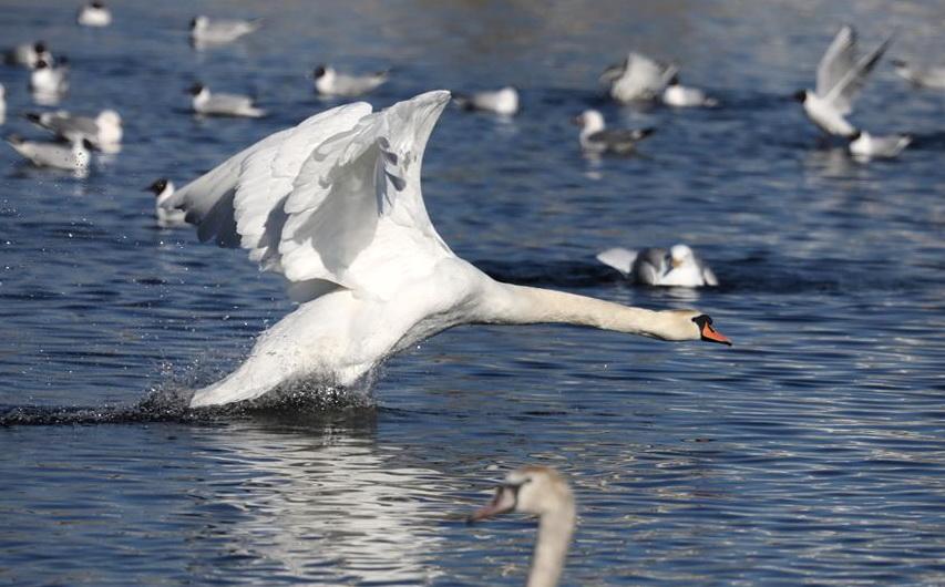 Лебеди в Витебске на озере