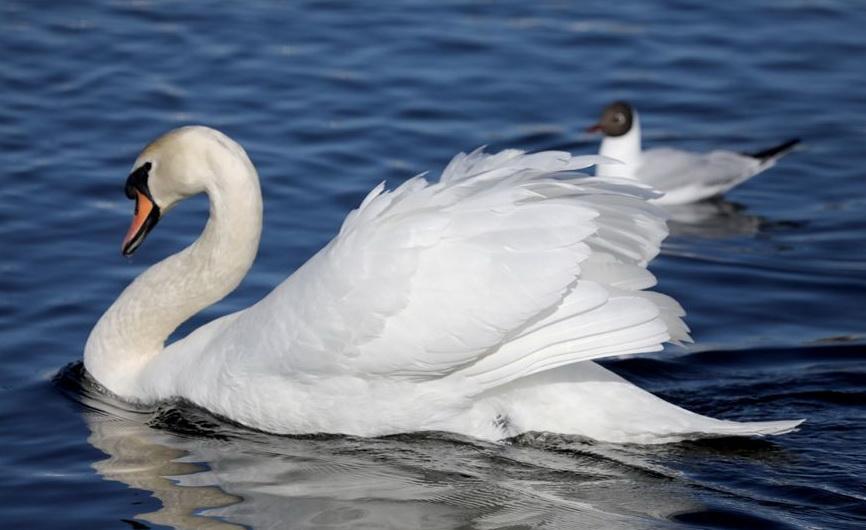 ФОТОФАКТ: Стая лебедей поселилась на водоеме в Витебске