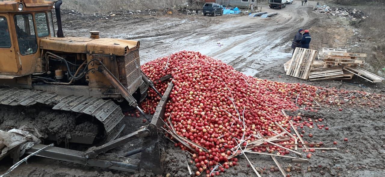 Фотофакт: 12 тонн яблок, ввезенных из Витебской области Беларуси, уничтожено бульдозером в Псковской области