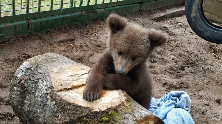 Найденная фермером медведица обживается в Березинском заповеднике