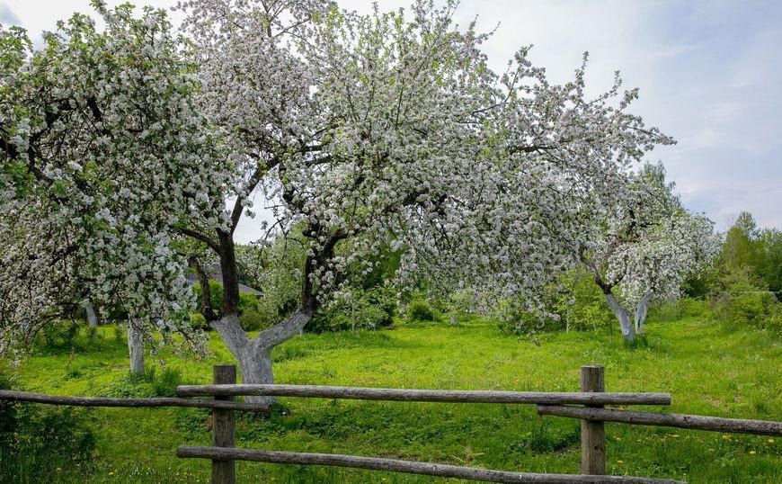 """Фотофакт: цветение яблоневого сада в музее-усадьбе Ильи Репина """"Здравнево"""""""