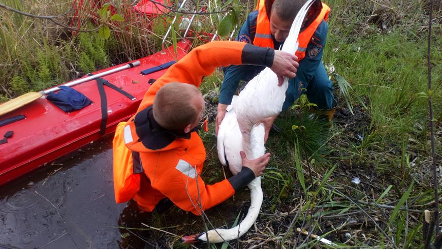 В Сенненском районе спасли запутавшегося в сетях лебедя
